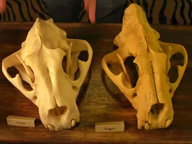 Lion vs Tiger skull size comparison. A lion has a bigger skull than a tiger.