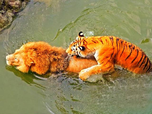A tiger is a better swimmer than a lion. Lion vs tiger swimming comparison.