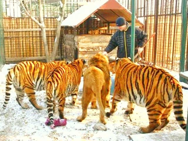 http://www.ligerworld.com/lion-vs-tiger/lion-vs-tiger-weight.jpg