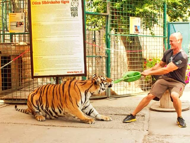 Bite force of a Tiger. A tiger has a stronger bite force than a lion.