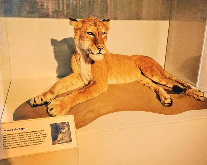 Maude the Tigon lived at Manchester Zoo from 1936 to 1949.