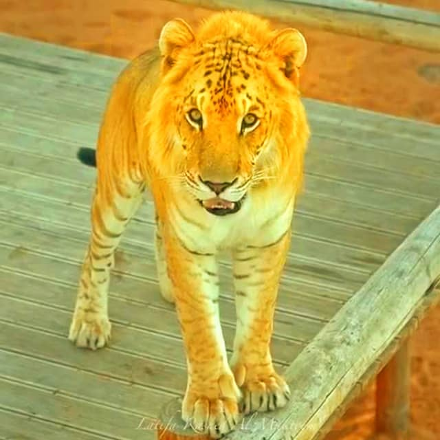 Tigons are not subject to dwarfism but rather they are as big as lions.