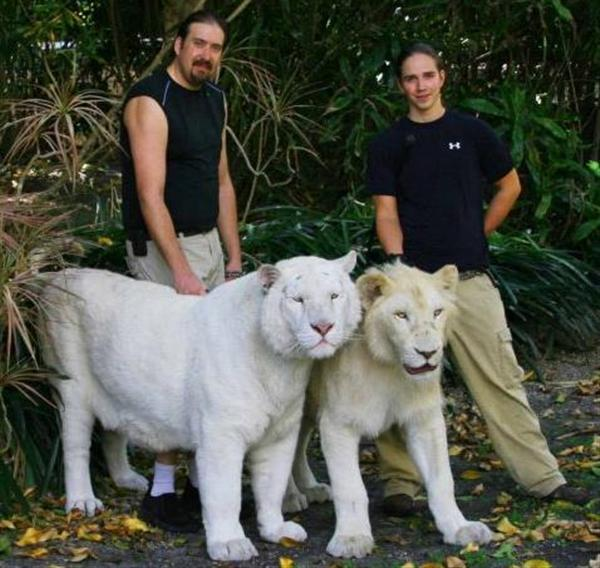 White Liger will always be produced through a white lion and a white tiger.
