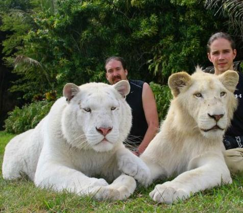 White Ligers Possibility. A White Lion and a female white tiger will produce a perfect white liger.