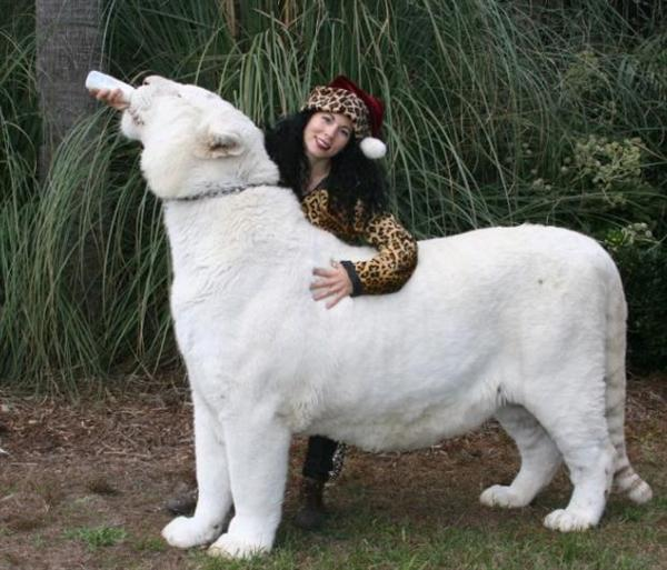 White Liger will be as big as 1200 pounds.