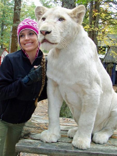 White Ligers will be specifically needing a white lion in particular.